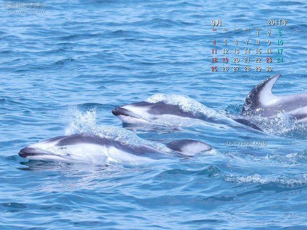 9月の壁紙カレンダー: 浮上するカマイルカ