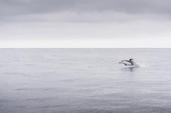 室蘭沖のカマイルカ