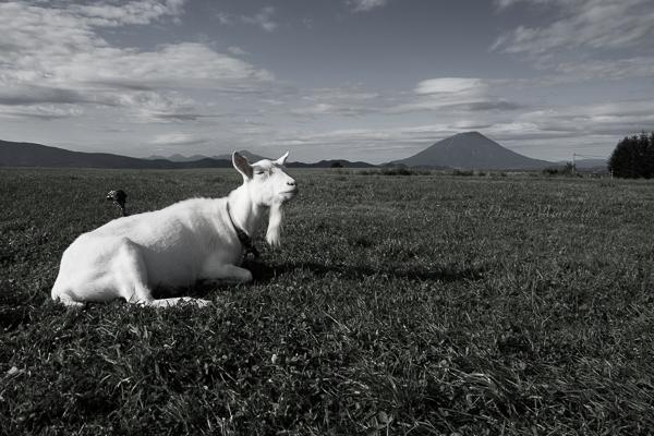ヤギと羊蹄山