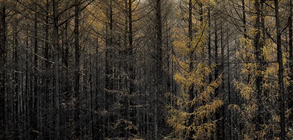 冬直前のカラマツの森